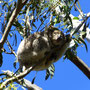 Ein Koala schläft am Wegesrand in den Bäumen direkt neben der Straße.