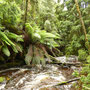 Wieder geht es in den tasmanischen Zauberwald!
