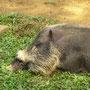 Der erste Bewohner vom Bako Nationalpark