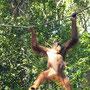 Und nach einigem Warten kommt tatsächlich der erste Orang Utan