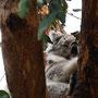 ...und Koalas