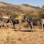Zebras - immer wieder gerne gesehen!