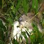Wacher Koala im Healesville Sanctuary