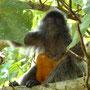 Die kleinen Silberblatt-Affen sind orange gefärbt...
