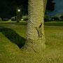 Brushtail Possum, das am Baum klebt