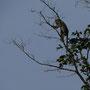 Und gleich mal die erste langschwänzige Makake