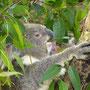 Ein gefräßiger Koala