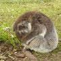 Der Koala hat sich nicht vom Fleck bewegt