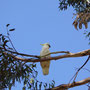 Sulfur-crested Cockatoos...