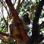 Der Koala guckt ein wenig skeptisch
