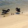 Schwäne sind in Australien in der Regel schwarz!