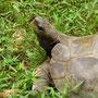Schildkröten,