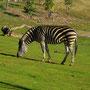 Afrikanische Klassiker: Zebras...