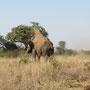 Etwas beeindruckenderes als einen wilden Elefanten gibt es für mich nicht!