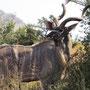 ...und das sehr beindruckende Herr Kudu dazu