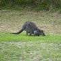 Bei der Ankunft an der Quarantäne-Station wartet ein Känguru auf uns