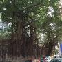 Bäume wachsen in Hongkong aus den Steinen heraus