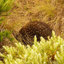 Echidna an der Great Ocean Road