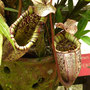 Riesige fleischfressend Pflanzen
