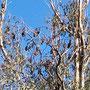 Flying Fox-Kolonie in Melbourne