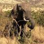 Und noch ein Elefant! Als er im Abstand von einem Meter vor uns die Straße überquerte, stoppte er kurz, schaut uns an und überleget vermutlich, ob es sich auf unserer Motorhaube gemütlich sitzen ließe... Kleiner Adrenalinschock...