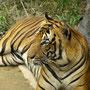 Ein Tiger...
