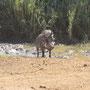 Wer unseren Artikel über über die niedlichsten Tiere gelesen hat, der weiß dass ich eine Schwäche für Warzenschweine habe!