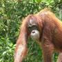 Die Stars von Borneo: Orang Utans...