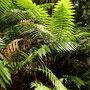 Der tasmanische Regenwald...