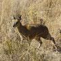 Kontrastprogramm: Afrika kann auch niedlich und schickt uns ein paar Miniantilopen vorbei...