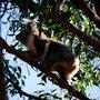 Dem Koala wird es zu bunt