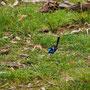 Ein blauer Zaunkönig