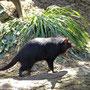 Tasmanischer Teufel - ganz bedrohlich!