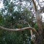 Die australische Vogelwelt...