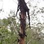 Baum beim Häuten
