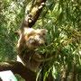 Futternder Koala