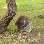 Ungewöhnliches Bild: Koala im Boden
