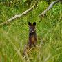 Kängurus gibt es auf Phillip Island natürlich auch