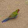 Bunte Vogelwelt Australiens