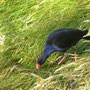 Purple Swamphen (Purpurhuhn)