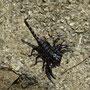 Der Skorpion lebte allerdings nicht mehr :-(