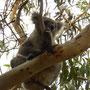 Ich glaube ja das ist ein Koka-Baum und kein Eukalyptus...