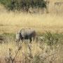 Nashorn! Etwas verschüchtert und weit weg, daher etwas verschwommen! Traurigerweise eines der letzten seiner Art! Vier Nashörner werden täglich getötet... Wenn das so weitergeht wird es sie nicht mehr lange geben!