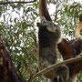 ...sind die Koalas schon fast hyperaktive Gesellen