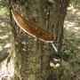 Da schlägt das Chemiker-Herz höher: ein Kautschuk-Baum!