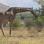 Noch ein Klassiker Afrikas: die Giraffe!