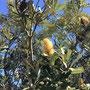 Die Wattle Tree ist auf der neuen australischen 5 Dollar-Note