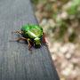 Schillernde Käfer