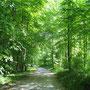 Wunderschön ist jetzt der Wald im hellen Frühlingslaub.