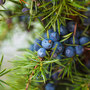 We harvest juniper berries ourselves, in the bush, or buy them from Aroma Borealis, in Whitehorse.